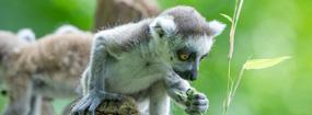 Lemurenlunch